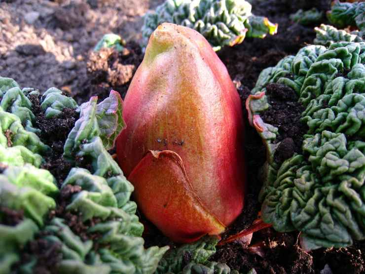 rhubarb-bud-earth-leaf-69047.jpeg