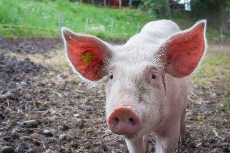 farm farmer pink ears
